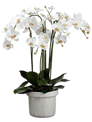 Four Stem White Orchid