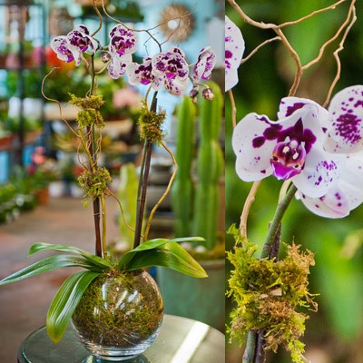 Bubble Bowl Orchid