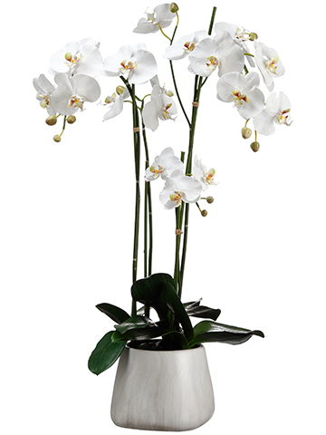 Tall White Orchid